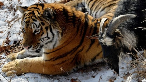 Video: Goat Fed to Tiger Becomes Tiger's Best Friend Instead