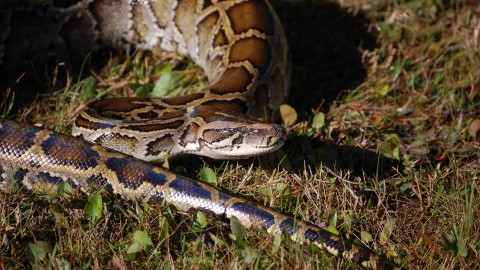 Python Challenge Kicks Off, Pythons Wanted Dead or Alive