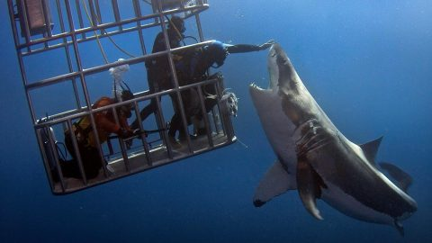 Diver Reaches Out For An Insane Great White Nose Touch