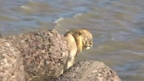 Video Shows Rescue of Swimming Lion in Arabian Sea