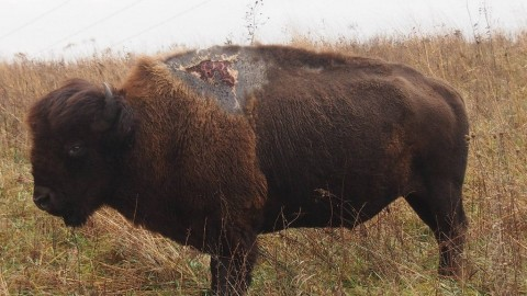 Bison Survives Direct Lightning Strike, Earns Name 'Sparky'