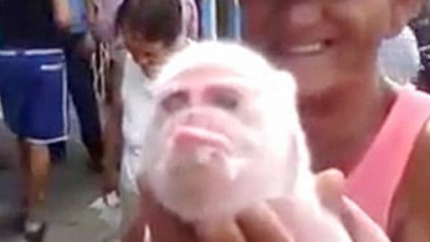 Monkey Pig Born in Cuba, Becomes Social Media Superstar