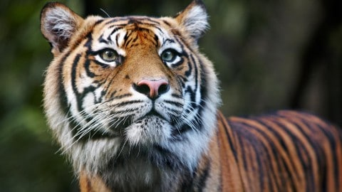 Tiger Attacks Zoo Keeper in Australia