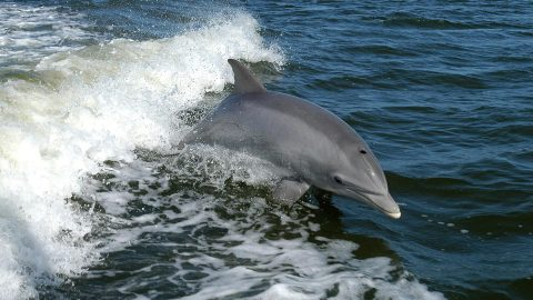 Video Explains Absolute Brilliance of Dolphins