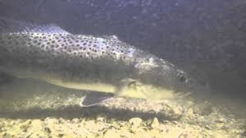 Spectacular Underwater Video of Speedy Speckled Trout Destroying Bait