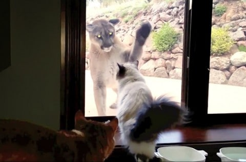 Brave Pet Cat Stands Up To Mountain Lion