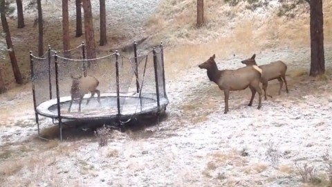 Elk Love to Party, Play on a Trampoline