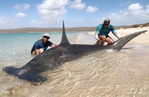 Anglers Make International Headlines Catching Two Monster Sharks