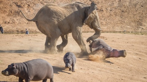 Elephant Vs. Hippo: Extremely Rare Images Show Attack