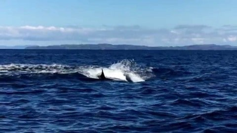 Orcas Kill Dolphin Beside Boat of Attempted Rescuers