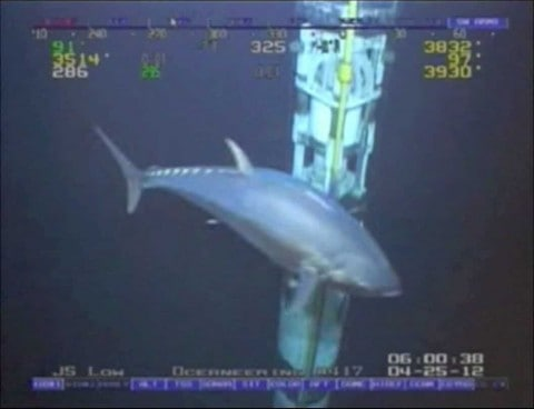 Potential 18-Foot World Record Tuna Caught on Film