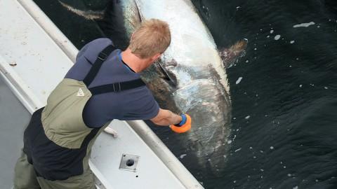 Feeding Giants … Giant Bluefin Tuna By Hand