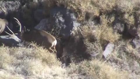 Deer Kills Deer in Brutal Fight Caught On Camera
