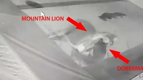 Violent Video of Mountain Lion Attacking Chained Doberman