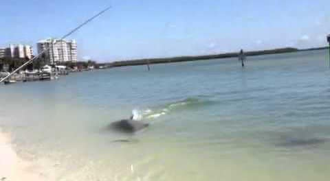 Dolphin Traps, Destroys Big Snook on Video