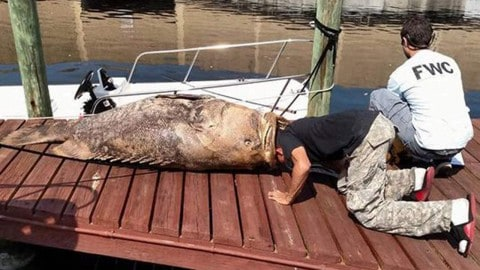 Local Man Finds 500-lb. Goliath Grouper Dead in Cape Coral Canal