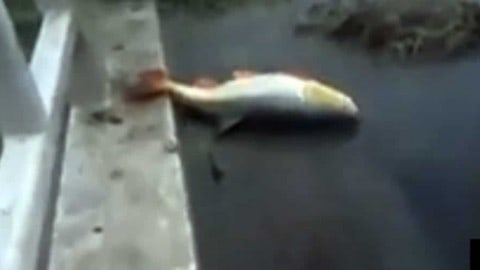 Video: Excavator Snags Giant Fish from Muddy Stream