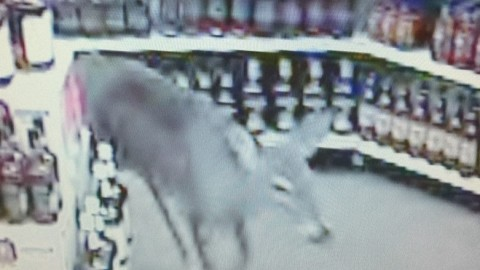Deer Walks into an ABC Liquor Store Because It's Five O'Clock Somewhere