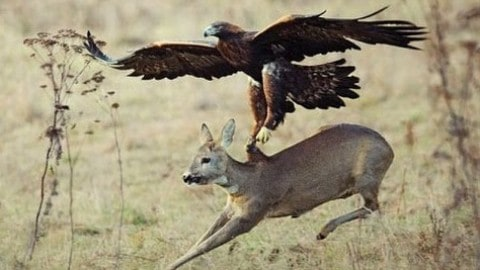 Top 3 Best Eagle Attacks on Video