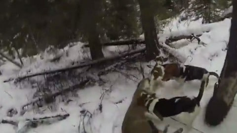 Video: Hunter Shoots Mountain Lion Point Blank to Save Dogs