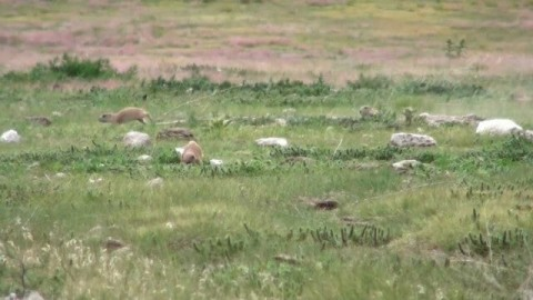Prairie Dog Hunting Whack-A-Mole Style