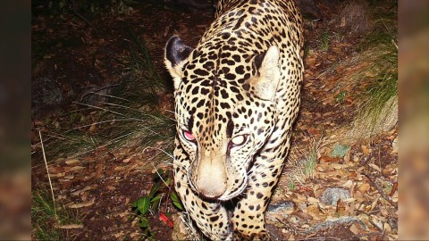 Last Known Wild Jaguar in U.S. Captured on Camera