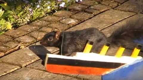 Squirrel runs obstacle course, proving she's the true American Ninja Warrior