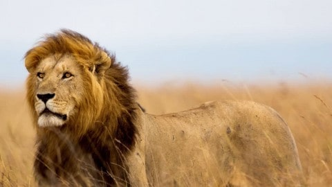 Zimbabwe to Kill 200 Lions Due to Overpopulation