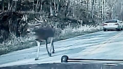 "Huge Buck Slows Down Traffic and has ""Run In"" with Deputy"