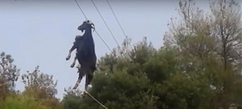 Most Relaxed Goat Ever on Video; Mysteriously Caught in Power Line, Totally Calm During Rescue