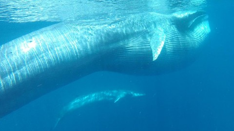 Video: Rare Omura's Whales Sighting Recorded