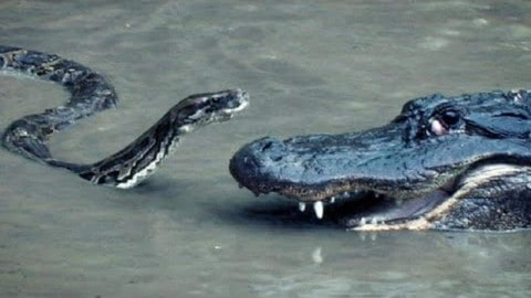 Python Attacks Gator, Gator Gets Upper Hand, and then Unexpected Happens