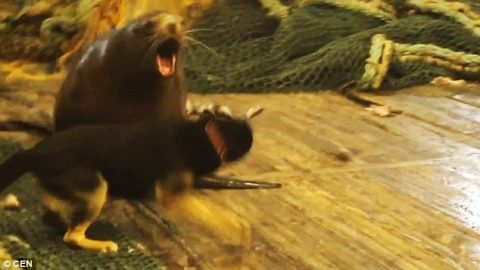 Angry, Massive Sea Lion Attacks, Throws Guy Across Deck