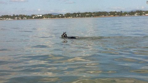 'Rebel' Horse Rescued After Swimming 7 Miles in Ocean
