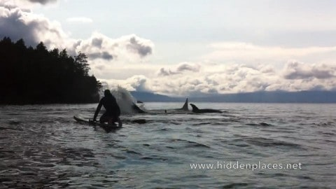Video: Paddle Boarder Nearly Taken out by Hunting Orca Pod
