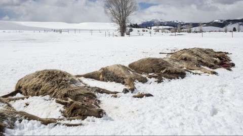Wolf Pack Kills 19 Elk in 'Extremely Rare' Sport Killing