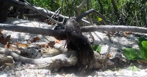 Video: Overly Confident Boa Attempts to Eat a Massive Iguana