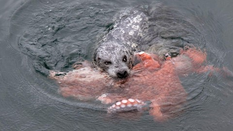 Video: Seal vs Octopus – Fight to the Death