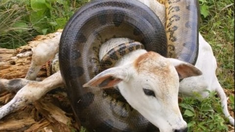 Hungriest Anaconda of All-Time Attacks Cow on Camera