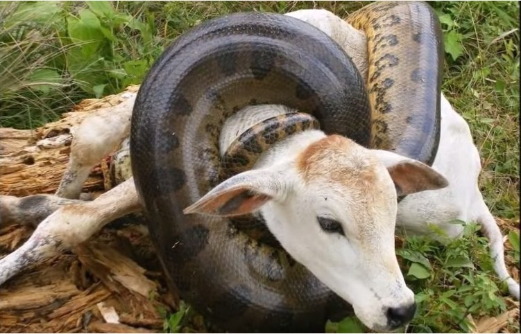 Hungriest Anaconda of All-Time Attacks Cow on Camera ...