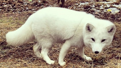 Arctic Fox Mimics Human Laughter, Wins Hearts Across the Internet