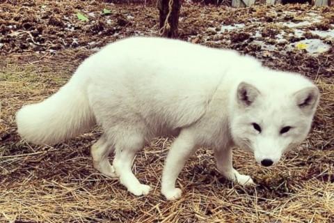Arctic Fox Mimics Human Laughter, Wins Hearts Across the Internet