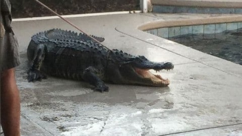 9-Foot Gator Pulled Out of Swimming Pool