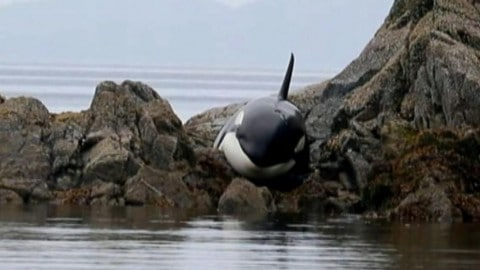 An Orca is Stranded for 8-Hours, Check Out The Amazing Way it was Saved