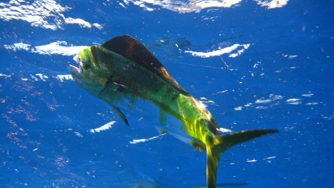 Video: Colorful Mahi Mahi Beaches Itself Because it wants to be Dinner