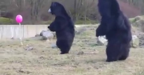 Three Bears Playing With a Balloon Will Make Your Day
