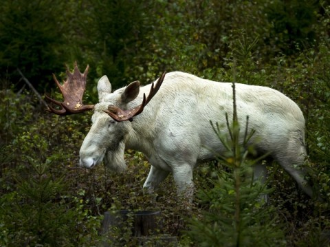 Video: Gorgeous Rare White Moose Spotted