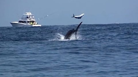 Amazing Blue Marlin Footage – A Must See
