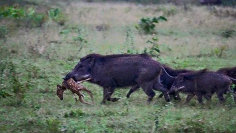 Wild Hogs Kill Baby Deer in Viral Photo