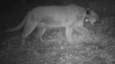 Famous, Wild Mountain Lion a Suspect in LA Zoo's Oldest Koala Death